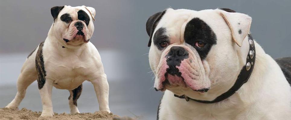 ebkc_home_americanbulldog